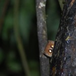 Photo of a Mouse Lemur hiding behind a tree
