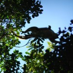 Photo of a red-fronted brown lemur mid-leap